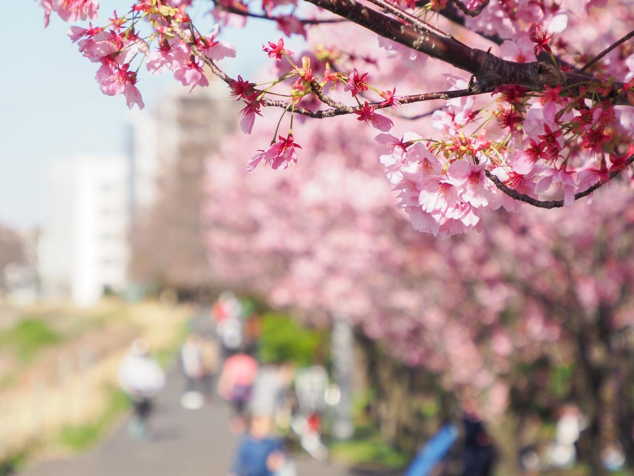 新横浜の横浜緋桜